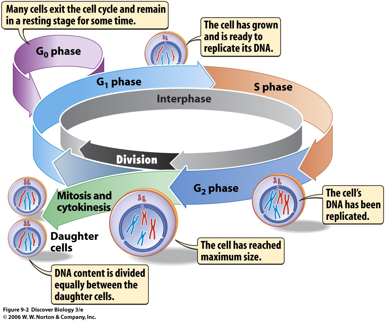 Cell Cycle Webquest