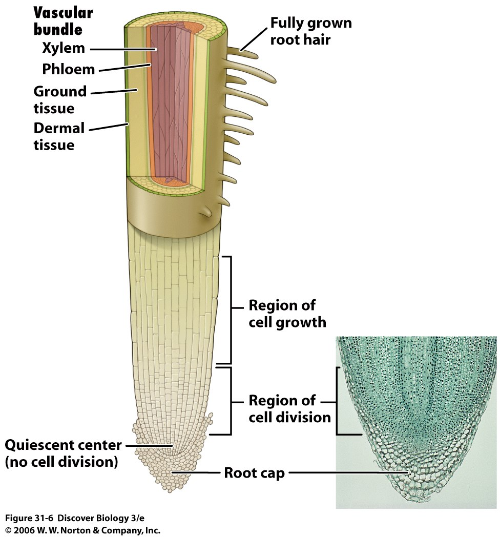 vascular tissues Ground tissue food or water storage, photosynthesis, respiration, support, mechanical protection might be divided into regions of cortex and pith by the vascular tissue called mesophyll in.