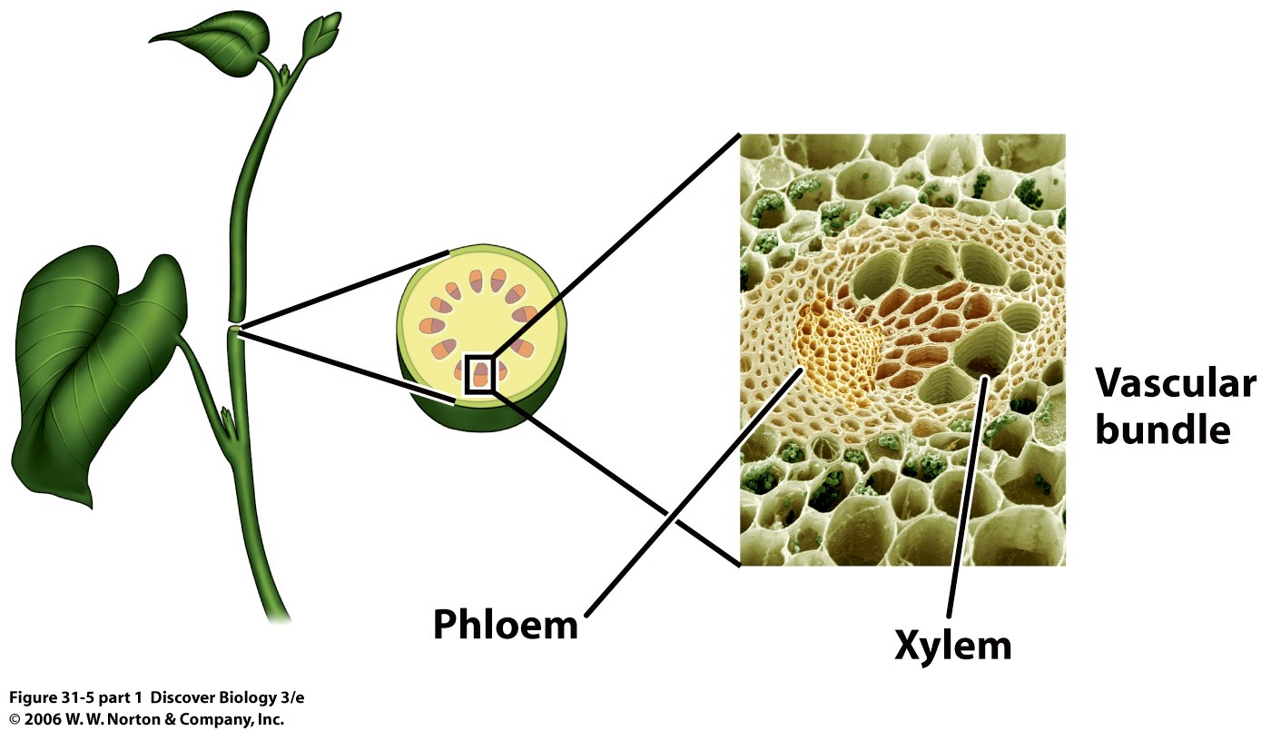 Phloem leaves to the rest of Xylem And Phloem In Plants