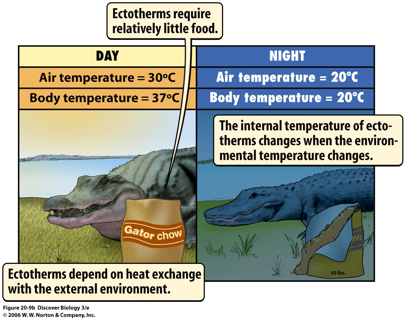 a description of ectothermic and endothermic animals Animals that are endothermic have adapted to the environment differently than ectothermic animals endothermic animals may stay active in cold weather, .