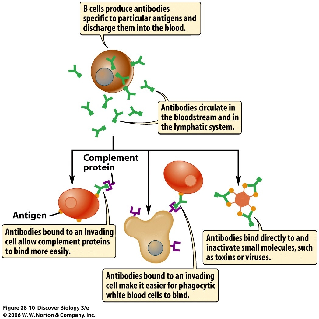 antisperm antibodies steroid treatment