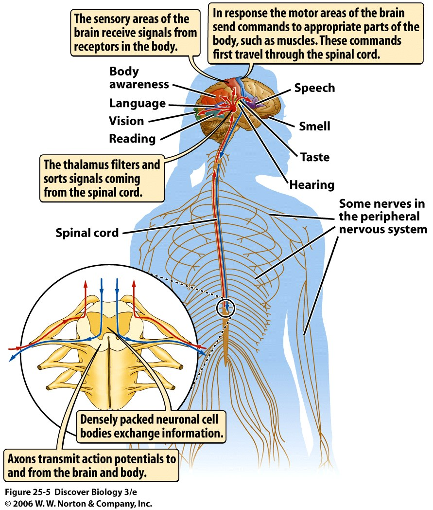 Sense Organ Brain And Spinal Cord Diagram - DIY Enthusiasts Wiring ...