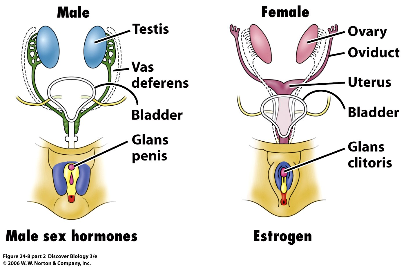male sex hormones are produced by what cells in Winnipeg