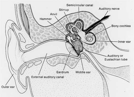 anatomy of theear